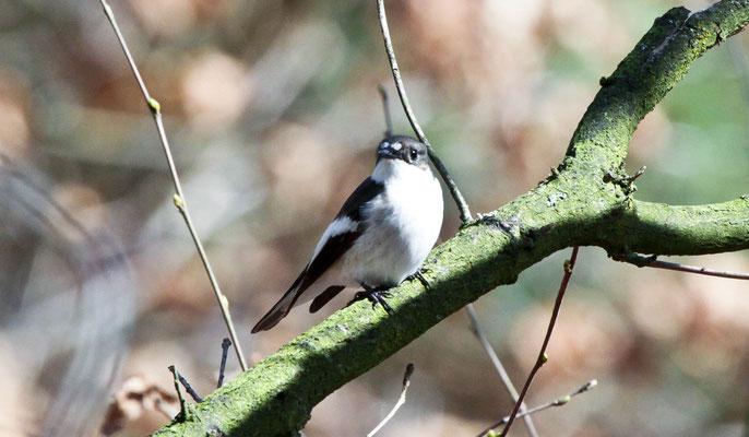 bonte vliegenvanger   Ficedula hypoleuca