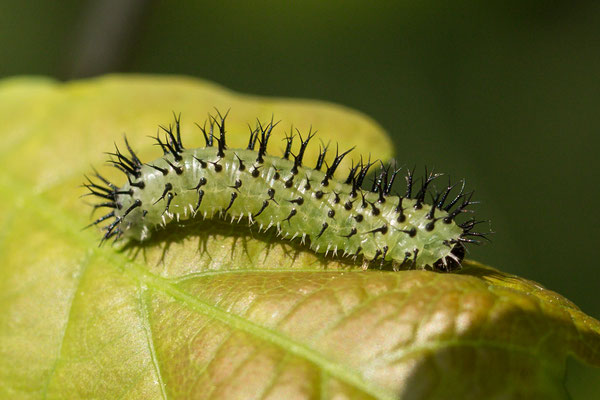 larve Periclista pubescens