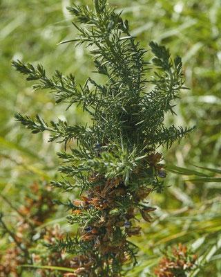 Gaspeldoorn   Ulex europaeus