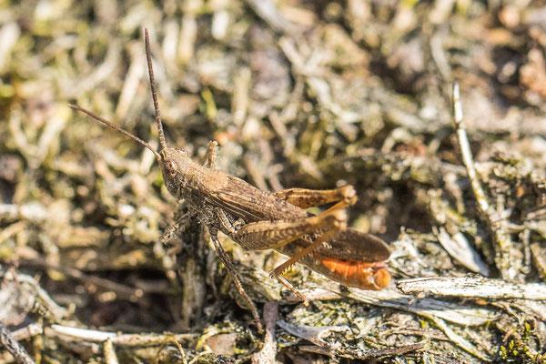 Bruine Sprinkhaan - Chorthippus brunneus