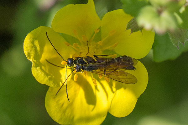 Calameuta filiformis