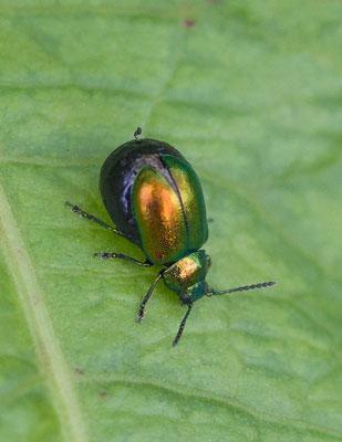 Groen zuringhaantje Gastrophysa viridula