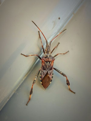 Bladpootrandwants Leptoglossus occidentalis