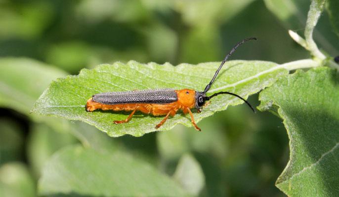 Oogvlekboktor Oberea oculata