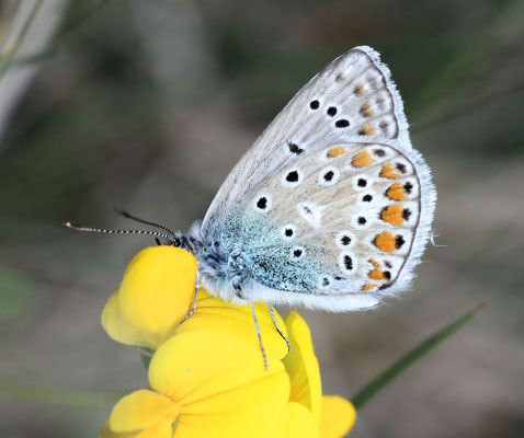 Icarusblauwtje Polyommatus icarus