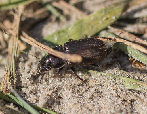 Heideschallebijter    Carabus arcensis