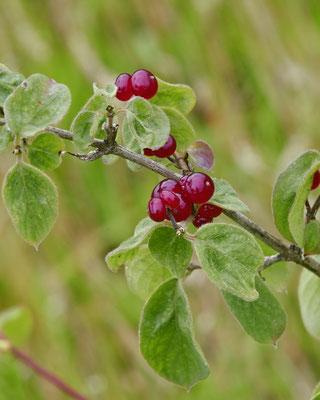 Rode kamperfoelie   Lonicera xylosteum