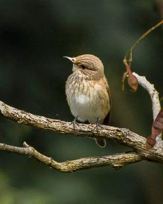 grauwe vliegenvanger  Muscicapa striata