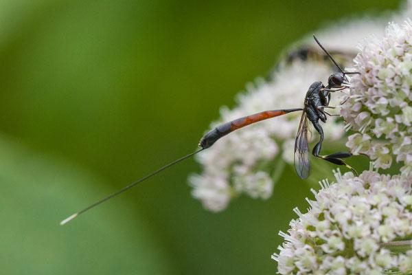 Hongerwesp (genus) onbekend goedgekeurd  Gasteruption spec.