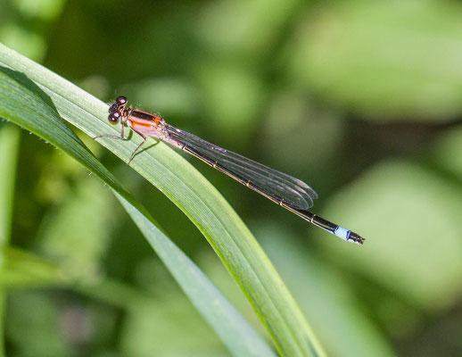 Lantaarntje Ischnura elegans