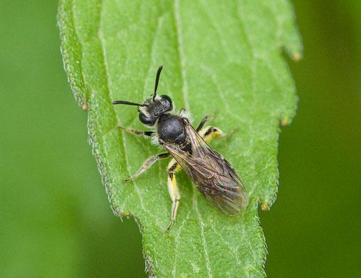 Groefbij onbekend (Lasioglossum) Lasioglossum spec