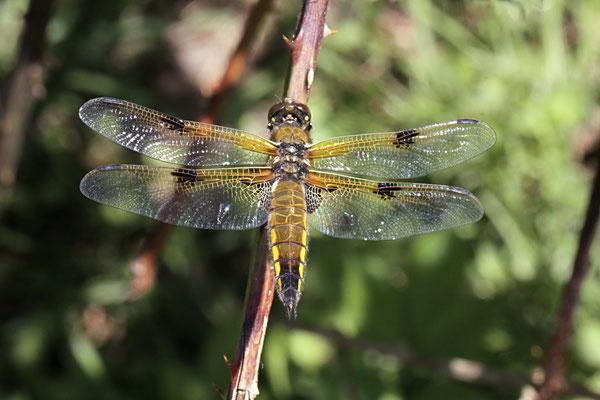 Viervlek  Libellula quadrimaculata
