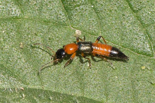 Gewone oeverkortschildkever Paederus riparius