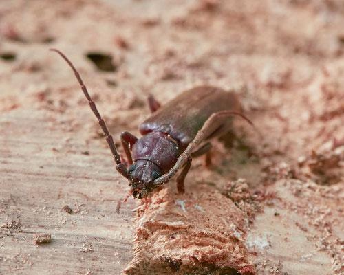 Bruine grootoogboktor   Arhopalus rusticus