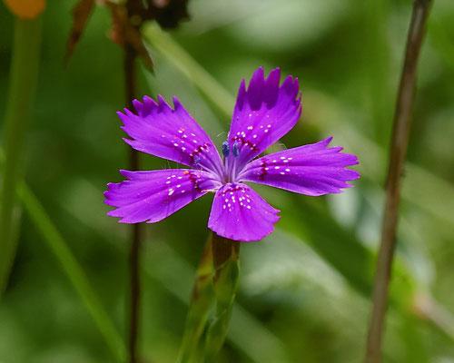 Steenanjer   Dianthus deltoides
