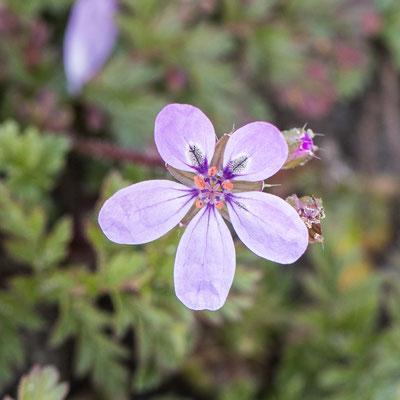 Reigersbek   Erodium cicutarium