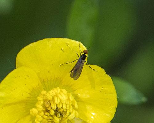 Rhamphomyia spec.