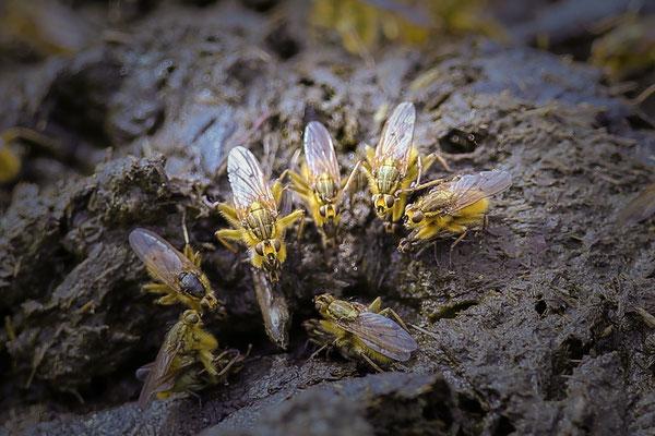 Strontvlieg Scathophaga stercoraria