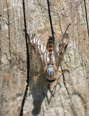 Gewone snipvlieg   Rhagio scolopaceus