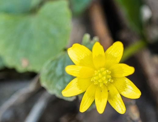 Gewoon speenkruid    Ficaria verna subsp. verna