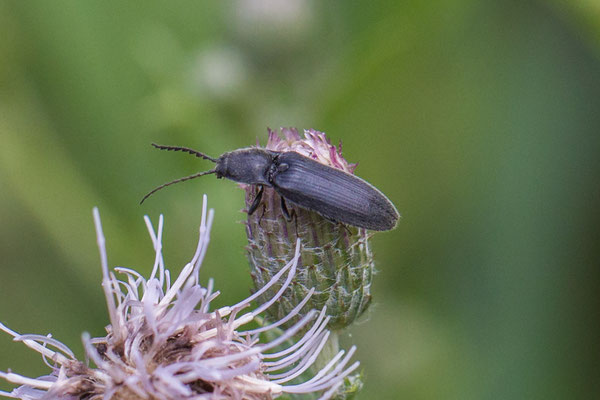 Hemicrepidius spec.