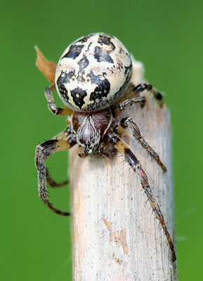 Rietkruisspin Larinioides cornutus