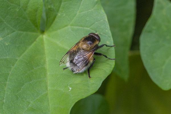 Hommelreus   Volucella bombylans