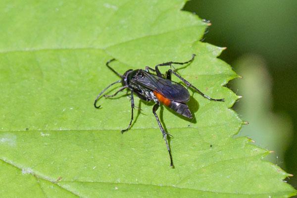 Gewone borstelspinnendoder  Anoplius infuscatus