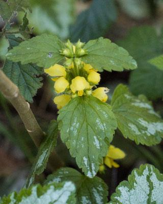 Bonte gele dovenetel    Lamiastrum galeobdolon subsp