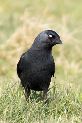 kauw  Corvus monedula