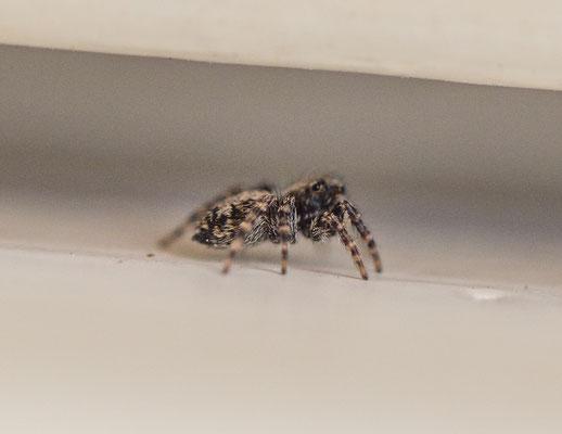 Huisspringspin Pseudeuophrys lanigera