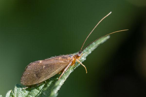 Neureclipsis bimaculata