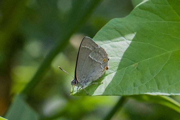 Eikenpage Favonius quercus