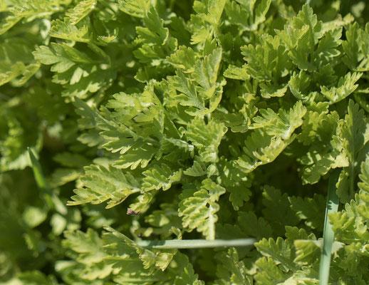 Moederkruid   Tanacetum parthenium
