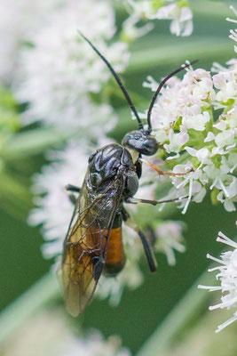 Elzebladwesp  Craesus septentrionalis