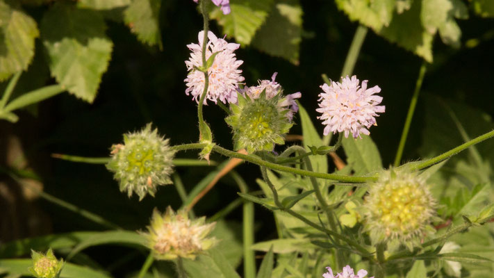 Beemdkroon  Knautia arvensis