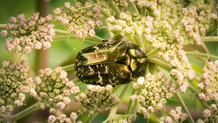 Gedeukte Gouden Tor Protaetia metallica