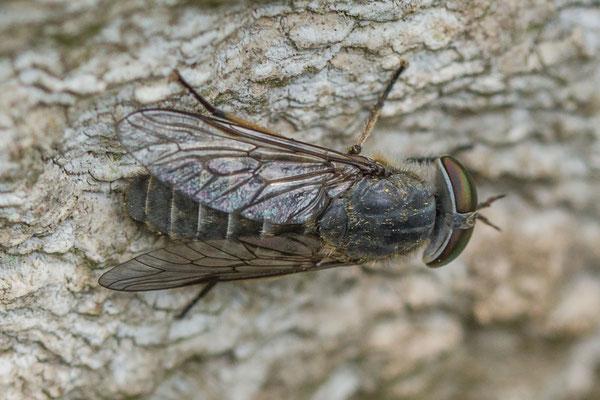 Grauwe runderdaas  Tabanus maculicornis