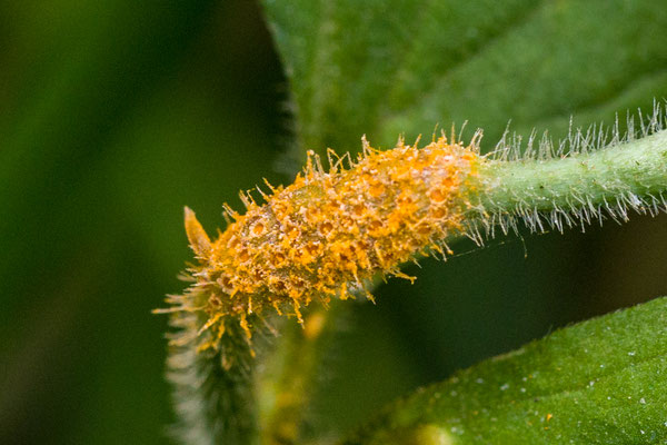 Bruine roest sl, incl. Boterbloem-rietroest  Puccinia recondita sl, incl. magnusiana