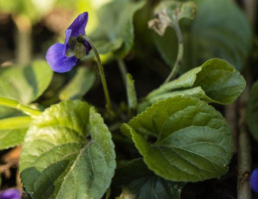 Maarts viooltje  Viola odorata