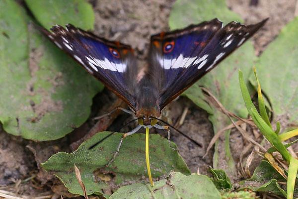 Grote weerschijnvlinder Apatura iris