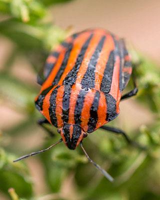 Graphosoma lineatum sensu auct.