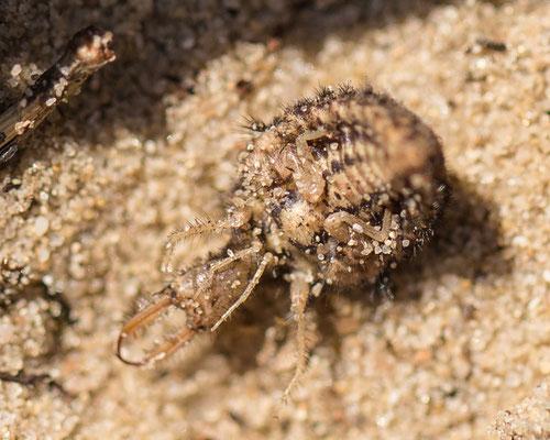Zwartkopmierenleeuw  Myrmeleon formicarius