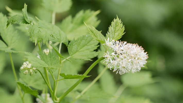 Christoffelkruid Actaea spicata