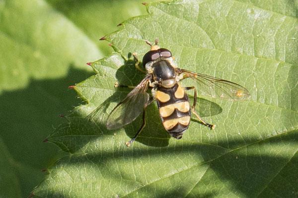 Bosdidea  Didea fasciata
