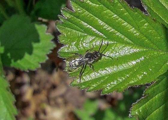 Zesvlekkige groefbij  Lasioglossum sexnotatum