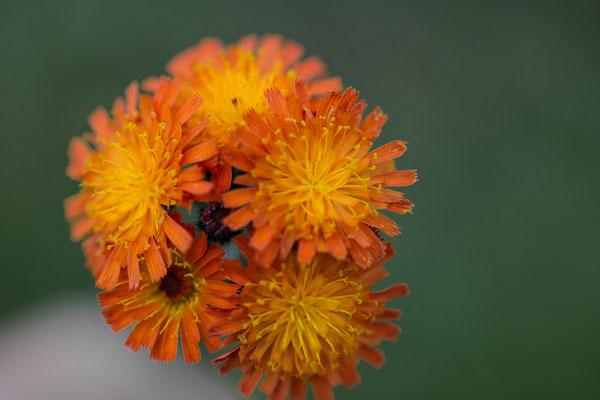 Oranje havikskruid Hieracium aurantiacum