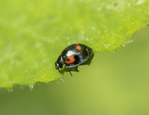 Viervleklieveheersbeestje   Exochomus quadripustulatus