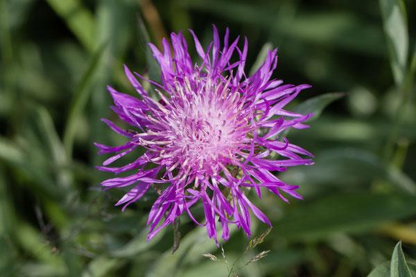 Knoopkruid  Centaurea jacea