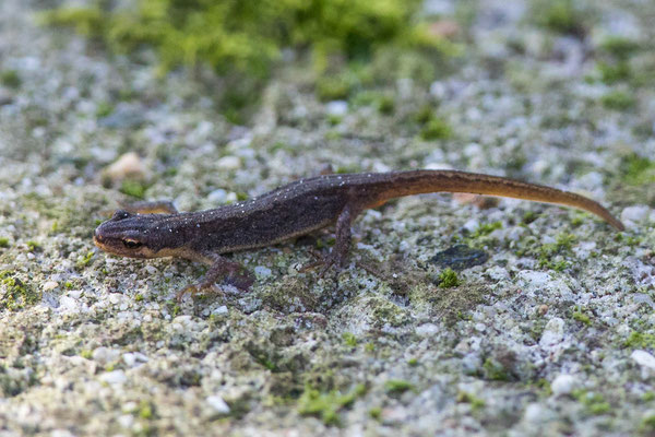 Kleine Watersalamander Lissotriton vulgaris